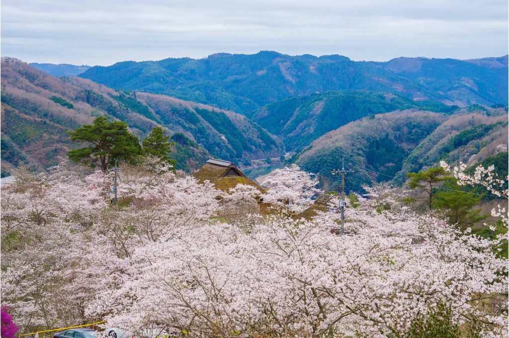 岡山県美咲町にある三休公園のサクラ